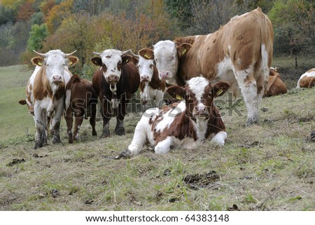 A Calf with its herd - stock photo