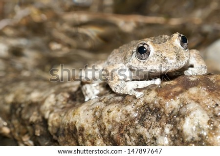 A California Treefrog on a rock in a stream in southern California.  - stock photo
