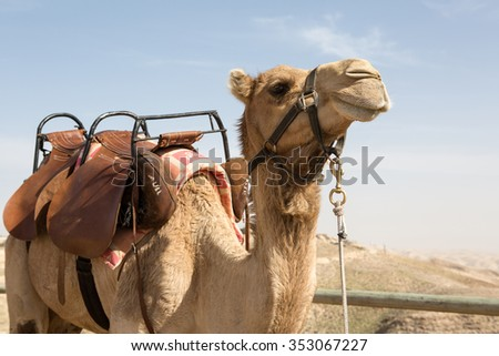 A camel in Israeli mountains in spring - stock photo