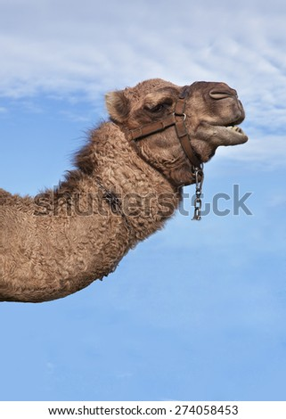 A camel portrait - stock photo