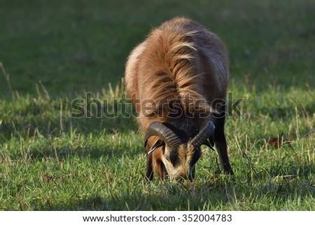 A cameroon sheep on a farm. - stock photo