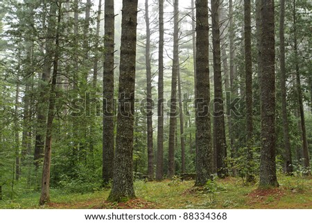 A campsite is barely visible through a forest of old growth pines on a foggy morning at Sharp Bridge Campground in the Adirondack Park in New York - stock photo
