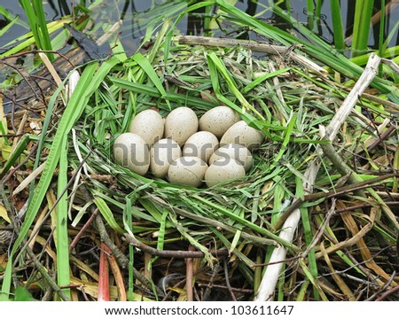 A Canada Goose nest in the reeds with a clutch of eggs - stock photo