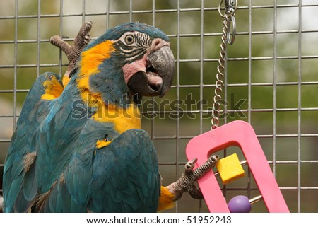A Caninde Macaw otherwise known as Blue Throated Macaw parrot in an aviary playing with a toy. - stock photo
