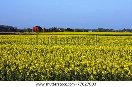 a canola farm in Southwestern Ontario - stock photo
