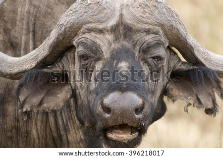 A cape buffalo resembles a prize fighter after a particularly nasty fight -- worn, haggard, ears torn.  Lake Manyara National Park, Tanzania, Africa.  - stock photo