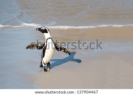A cape penguin seems to merrily dance while emerging from the surf in Boulder's Beach near Cape Town, South Africa. - stock photo