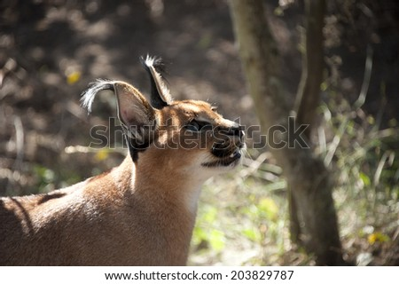 A Caracal looking up in South Africa - stock photo
