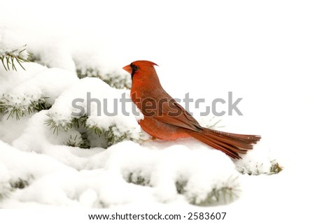 A cardinal is perched in an evergreen tree following a snowstorm in Illinois - stock photo