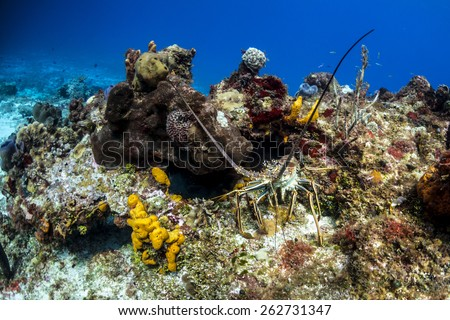 A caribbean reef lobster coming out to feed - stock photo