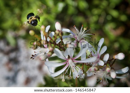 A carpenter bee (bumble bee) hovers in flight over a clump of wildflowers in the scrub-land around Deltona, Florida.   - stock photo