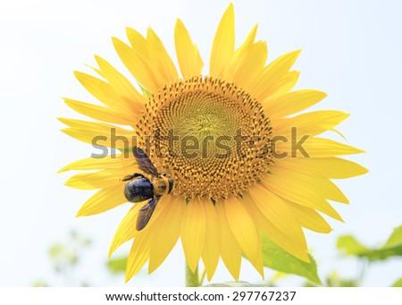 A carpenter bee on a sunflower. - stock photo