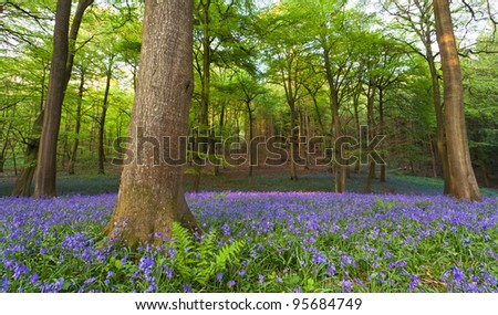 A carpet of bluebells at the height of their bloom in a clearing in a wood at sunset. - stock photo