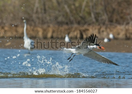 A Caspian Tern (Hydroprogne caspia) taking to the air after a dive in front of two pink-backed pelicans - stock photo