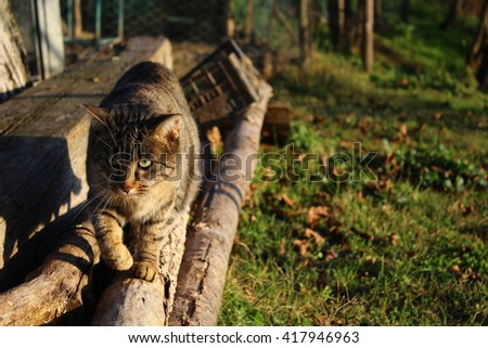 A cat gently walks on a log on a farm in Italy. - stock photo