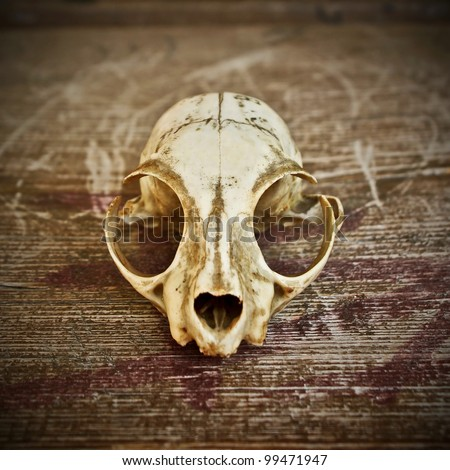 A cat skull on a wood. - stock photo