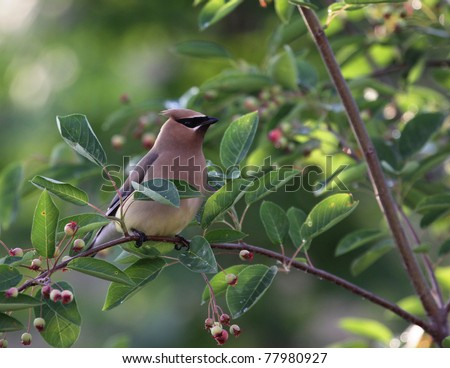 A Cedar Waxwing (Bombycilla cedrorum), perched in a serviceberry tree. - stock photo