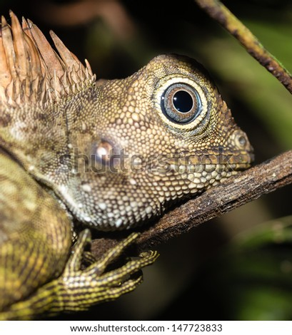 A Chamaeleon up close at night in the Borneo jungle - stock photo