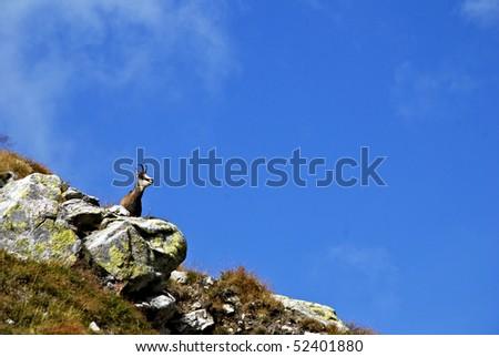 A chamois in the High Tatra Mountains - Slovakia - stock photo