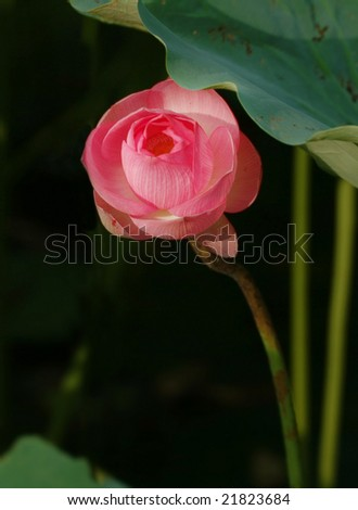 A charming lotus bloom in the pond. - stock photo