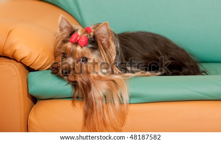 A charming yorkshire terrier with a red ribbon on its head is lying on the sofa - stock photo