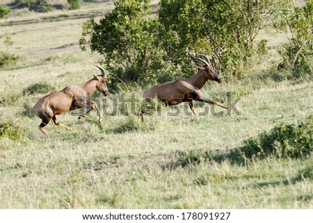 A chase of Topi antelopes - stock photo