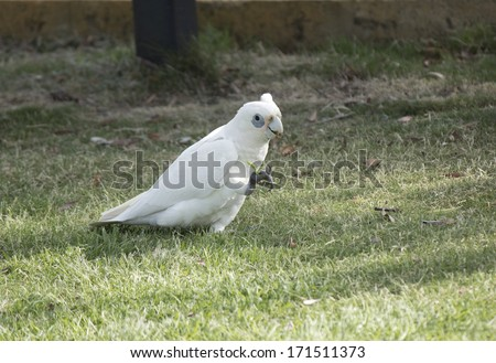 A cheeky blue eyed  white Australian corella Licmetis  a subgenus of the white cockatoos (genus Cacatua) is eating the grassy tips of weeds in the park on a sunny day in mid summer. - stock photo
