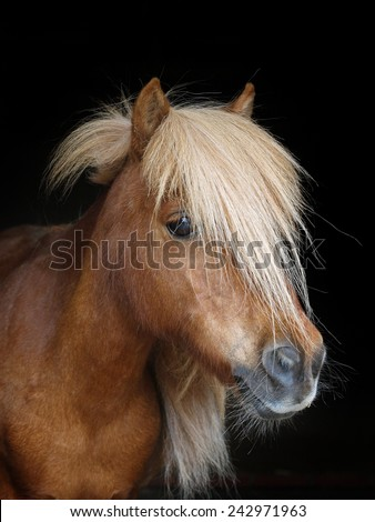 A cheeky looking pony head shot against a black background - stock photo