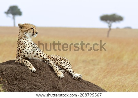 A cheetah (Acinonyx jubatus) on the Masai Mara National Reserve safari in southwestern Kenya. soft focus - stock photo