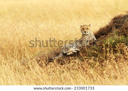 A cheetah cub (Acinonyx jubatus) on the Masai Mara National Reserve safari in southwestern Kenya. - stock photo