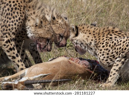A cheetah family eats a fresh killed gazelle - stock photo