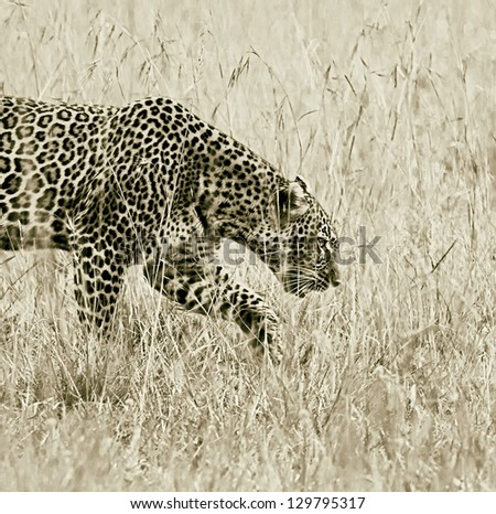 A cheetah on the Masai Mara National Reserve - Kenya (stylized retro) - stock photo