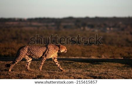 A cheetah patrols a grass field on the hunt in golden light. - stock photo