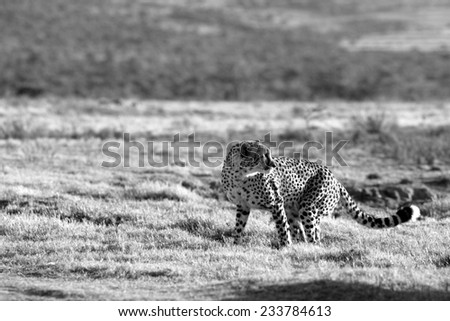 A cheetah poses after noticing a noise behing him. - stock photo