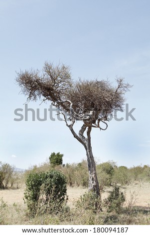 A cheetah resting on a tree with a prey kept on other branch - stock photo