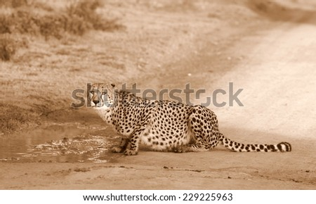 A cheetah sits and rest after drinking. - stock photo