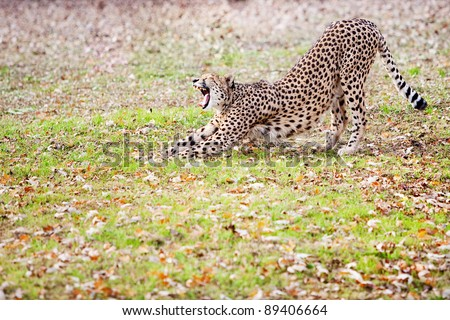 A cheetah stretching showing it's perfect teeth - stock photo