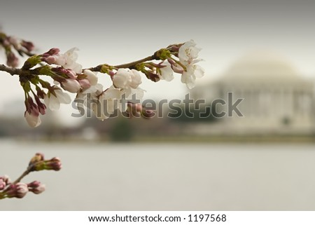 A cherry blossom in Washington, D.C.  Jefferson memorial in background. - stock photo