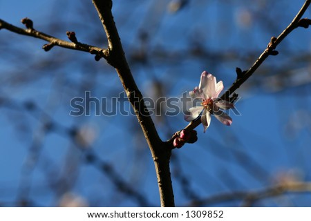 A cherry blossom on a tree branch. THe first blossom of the season; nature awakening after winter. - stock photo