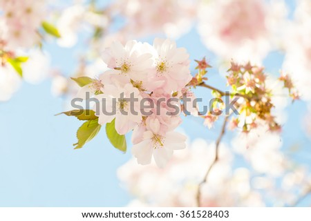 A cherry flowering twig in bright sunlight. A nice reminder of a wonderful walk in one of Goteborgs beautiful parks. - stock photo