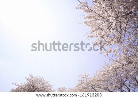A cherry tree and empty - stock photo