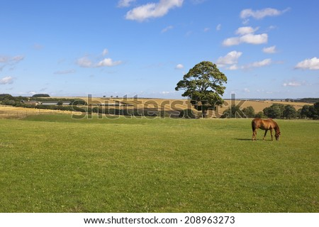 a chestnut horse grazing in a green pasture with agricultural scenery under a blue sky in summer - stock photo
