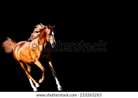 a chestnut stallion or horse running on a isolated black background - stock photo