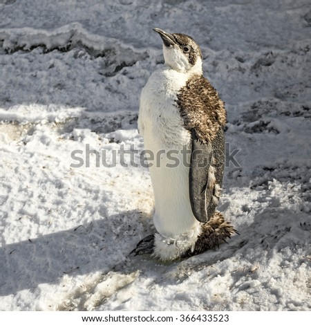 A chick of Emperor penguin (Aptenodytes forsteri) - stock photo