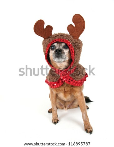 a chihuahua dressed up for christmas as a reindeer - stock photo