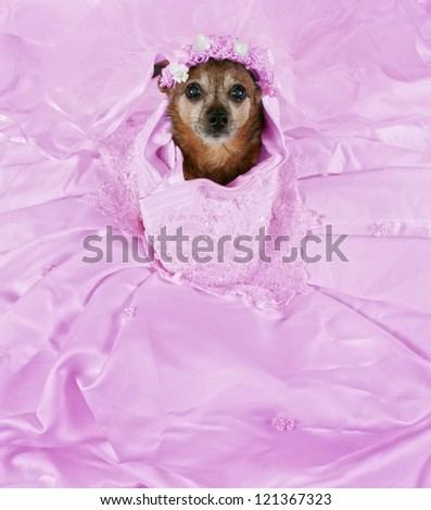 a chihuahua in a pink wedding dress - stock photo