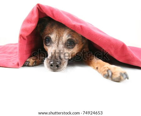 a chihuahua mix dog under a blanket - stock photo