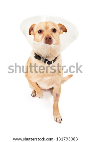 A Chihuahua mixed breed dog that just had eye surgery wearing a plastic cone. Dog has a swollen eye and shaven patch on leg where IV was inserted - stock photo