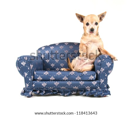a chihuahua on a miniature couch - stock photo