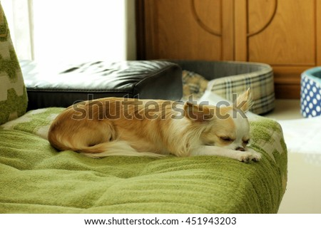 a chihuahua or chiwawa dog laying on green sofa in the living room. - stock photo